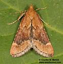 Achyra sp.? - Hypsopygia cohortalis