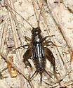 Carolina Ground Cricket - Eunemobius carolinus - female