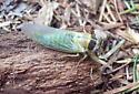 Cicada - Platypedia areolata