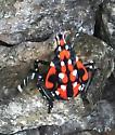 Spotted Lanternfly nymph - Lycorma delicatula
