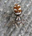 zebra spider - Salticus scenicus - male