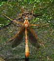 Ichneumon Wasp - Enicospilus