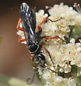 Episyron conterminus posterus - Episyron conterminus - female
