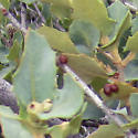 Desert gall on Quercus turbinella (Holly Oak)