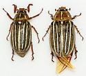 Male/Female Pair - Polyphylla decemlineata - male - female
