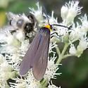 Yellow collared Scape Moth (Cisseps fulvicollis)  - Cisseps fulvicollis