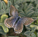 Kind of Blue - Cupido amyntula