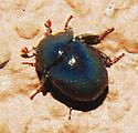Beetle - Germarostes globosus
