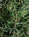 Stick Insect - Diapheromera velii 5367 - Diapheromera - male