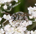 Little Bee ID Request - Halictus tectus - male
