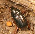 Ground Beetle - black with golden reflection - Amara anthobia