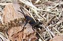 Lubber young - Romalea microptera - female