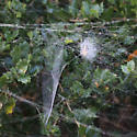 web + tent spider - Metepeira spinipes