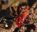 Panorpa nuptialis? - Panorpa nuptialis - male