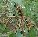 Oranged Striped Oak Moth caterpillars - Anisota senatoria