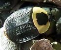 Carrion Beetle - Necrophila americana