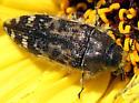 Which species of Acmaeodera is this? - Acmaeodera hepburnii