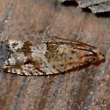 Tortricid Moth - Rhopobota naevana