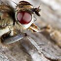 Dung Fly - Ceratinostoma ostiorum