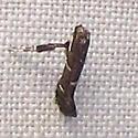 Caloptilia undescribed - Caloptilia triadicae