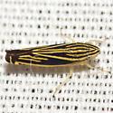 Sharpshooter Leafhopper - Sibovia occatoria