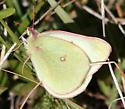 Scudder's Sulphur - Colias scudderii - female