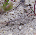 Longhorn Band-Winged Grasshopper - Psinidia fenestralis - female