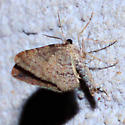 Moth with closed wings - Orthonama obstipata