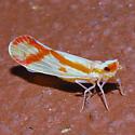 Orange and White Hopper - Otiocerus coquebertii