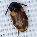 beetle multi - Mycetophagus serrulatus