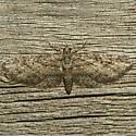 Moth - Eupithecia