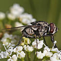 Stable Fly - Stomoxys calcitrans