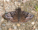 Mottled Duskywing - Erynnis martialis - male