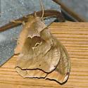 Polyphemus Moth - Hodges #7757 - Antheraea polyphemus - female