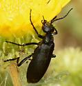 Iridescent beetle on yellow thistle (?) - Epicauta