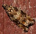 Small brown patterned moth? - Celypha cespitana