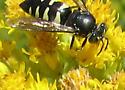 Bee or Syrphid? - Bicyrtes quadrifasciatus