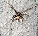 Trying to find out what kind of spider this is. - Latrodectus variolus