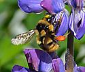 bumblebee - Bombus bifarius