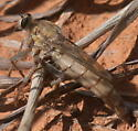 Light brown robber fly - Scleropogon helvolus
