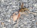 Wasp vs spider  - Poecilopompilus interruptus