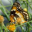 California Checkerspot Butterfly - Chlosyne californica