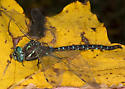 Which Darner and Which Sex? - Aeshna umbrosa - male