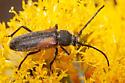 longhorned beetle - Crossidius