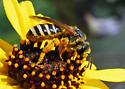Nix Bee 1 - Halictus farinosus