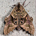 Blinded Sphinx - Hodges#7824 - Paonias excaecata