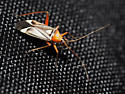 unknown hemipteran - Closterocoris amoenus