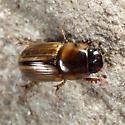 Aphodiine Dung Beetle - Aphodius pseudolividus - male