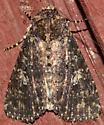 Dark Hairy moth? - Condica
