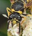 Wasp in Angeles National Forest - Eumenes crucifera